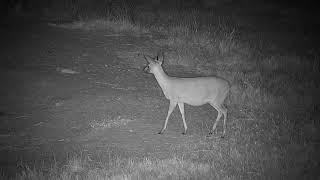 Djuma: Duiker female out foraging - 20:50 - 05/12/19