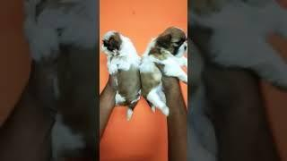 9212 501 257 show quality should you male and female puppies for sale in Delhi Dwarka petshop dog