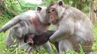 Poor baby Timo want to run out of Female monkey because of his mother not seen