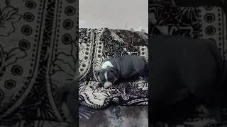 Subscribe my channel American bully female show quality 8860277543 Delhi for sale