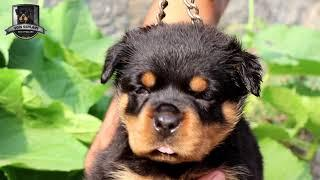 OLYMPIA OF GEHLAUT || FEMALE PUPPY || ROTTWEILER || DOG SHOWS || FCI || KCI || 2018 || YOUTUBE ||