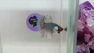 For Sale: 1st Longfin Female (Dumbo HM) (#044) Caboolture Show 2018 Fishchick Auctions