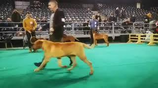 IDS & NDS Napoca Dog Show . Tosa breed ,junior female class