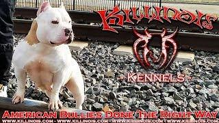 AMERICAN BULLY FEMALE !!!!!!!!!!!!!!!!!!!!!!! FROM THE WORLD FAMOUS KILLINOIS KENNELS