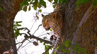 This Female Leopard is About to Lose Her Hard-Earned Kill