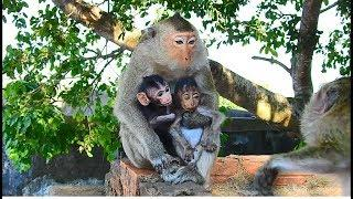 Awesome! Female monkey Quincy give big love to baby Heidi | Quincy show sweet behavior with Heidi