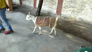 White Beauty Pregnant female SOLD OUT, R.K Brother Goats Farm Etawah U.P, Whatsapp No-8057106851 par