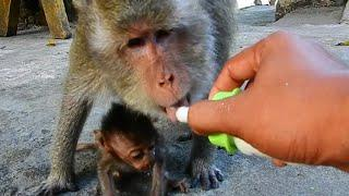 Poor tiny baby Heidi can't drink milk because old female monkey