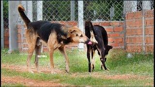 German Shepherd Mix Vs Akita Shephered Female On The Rice Field In Raining Season