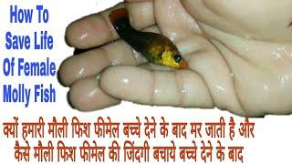 How To Save Life Of Female Molly Fish After Giving Birth (Hindi)