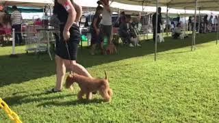 September 2, 2018 Mie Sensation Aiken Club Dog Show Lakeland terrier (female)Junior class.