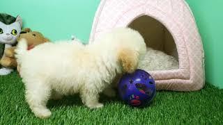 Topdogla- Maltipoo Puppy - Female - Rainbow
