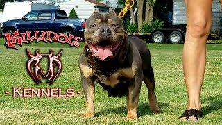 AMERICAN BULLY FEMALE FROM THE WORLD FAMOUS KILLINOIS KENNELS