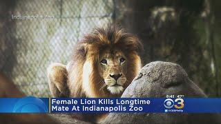 Female Lions Kills Longtime Mate At Indianapolis Zoo