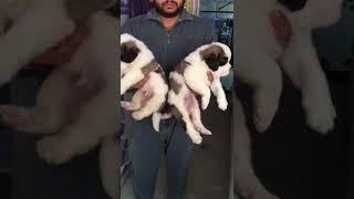 Saint Bernard puppies male and female show quality for sale in Happy kennel  08750568063