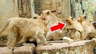 MG! Why Ah Chep Wants To Bit Female Monkey? Sweetpea Playing With Jack