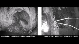 Someone walks out & back, female shifts prey, female to attic ~ ©Audubon Starr Ranch Barn Owls