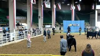 NWSS - Simmental Female Show