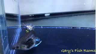 Female Longfin Dumbo Platinum Dragon Guppy - Show Quality - Poecillia reticulata