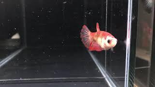 Hm 35 koi female 50 pln sold out