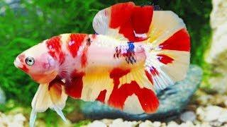 New Design Betta Male & Female Fish Video 2018 - TOP collection fighting fish ( fish videos)