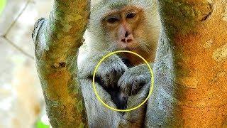 Female Monkey Briana Was Tired, Briana Just Was Born Baby Monkey, Baby's Placenta Monkey