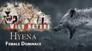 Badass Female Hyenas show their dominant nature  | WILD NATURE