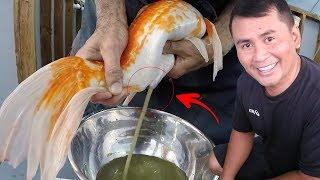 16 DIY STEPS - Breeding japanese koi made easy ( complete step by step tutorial)