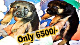 German Shepherd Female Puppy Available For Sale / Very Cheap Dogs Price list in India