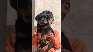 Punch face #Rottweiler puppies Sale male and Female #India #Maharashtra #odisa #Gujarat 9950330009