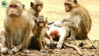 Poor Amber group face high risking of lose more female monkeys