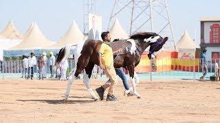 Indian Marwari horse female ring show p1 2018