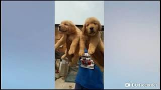 Golden Retriever Show Quality Heavy Bone Male Female Puppies Available For Sale @ARM Dog Kennel