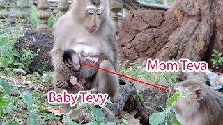 Why Mama Hybrid Teva Not Care With Her Baby Tevy While Female Pigtail Catch and Hug Tevy ? PTM 1141