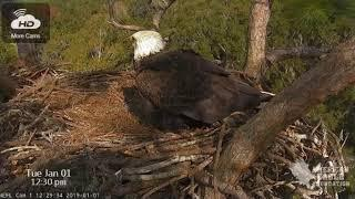 Courtship - Immature & Beautiful Young Female Eagles Return - NEFL Nest - Part Two - Jan 1, 2019