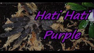 Tarantula Rehouse #5: Cyriopagopus sp  Hatihati