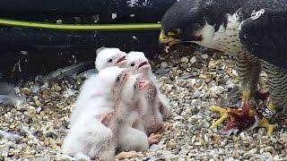 Peregrine falcons webcam 2018