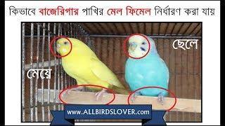 How to identify male female budgerigar