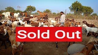 Sold Out , 16 sirohi Female 1 Male sirohi .....Dewda Goat Farm