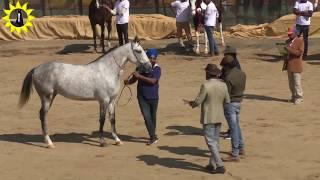 Indian Marwari horse female ring show p2