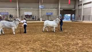 2018 ABBA National Brahman Show Gray Female Calf Champion Drive