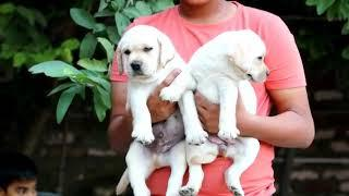 Show quality KC I registered Labrador male and female puppies for sale in Delhi Dwarka Pet Shop dog