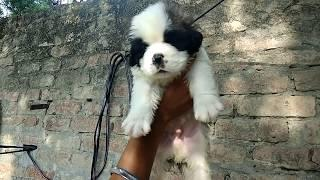 visit to a Dog Farm//Show Quality Saint Bernard puppies on sale F15000 M 20k