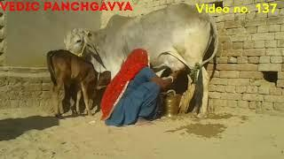 (137) Tharparkar cow# SOLD OUT # Female calf # Milk 9 kg