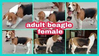 Adult beagle female on heat