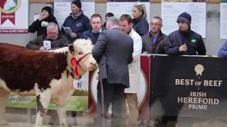 Hereford Calf Show 2018 - Female Section