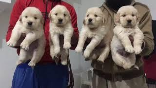 Golden Retriever Male female show quality puppy sale dogshub India 9950330009