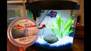 *NEW* FEMALE BETTA FISH for BREEDING!