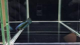 D32 female Mahachai GREEN ALIEN 120pln (sold out)