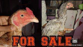 Yukud &duwar female  at shubham aseel sold out (8268144603)